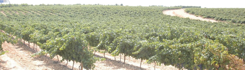 Tempranillo druivenstokken op de wijngaard van het domein Marques de Montecierzo